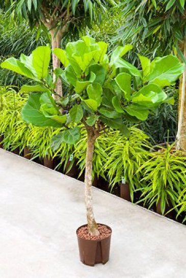 Ficus Lyrata (Vioolbladplant) - Hydrocultuur