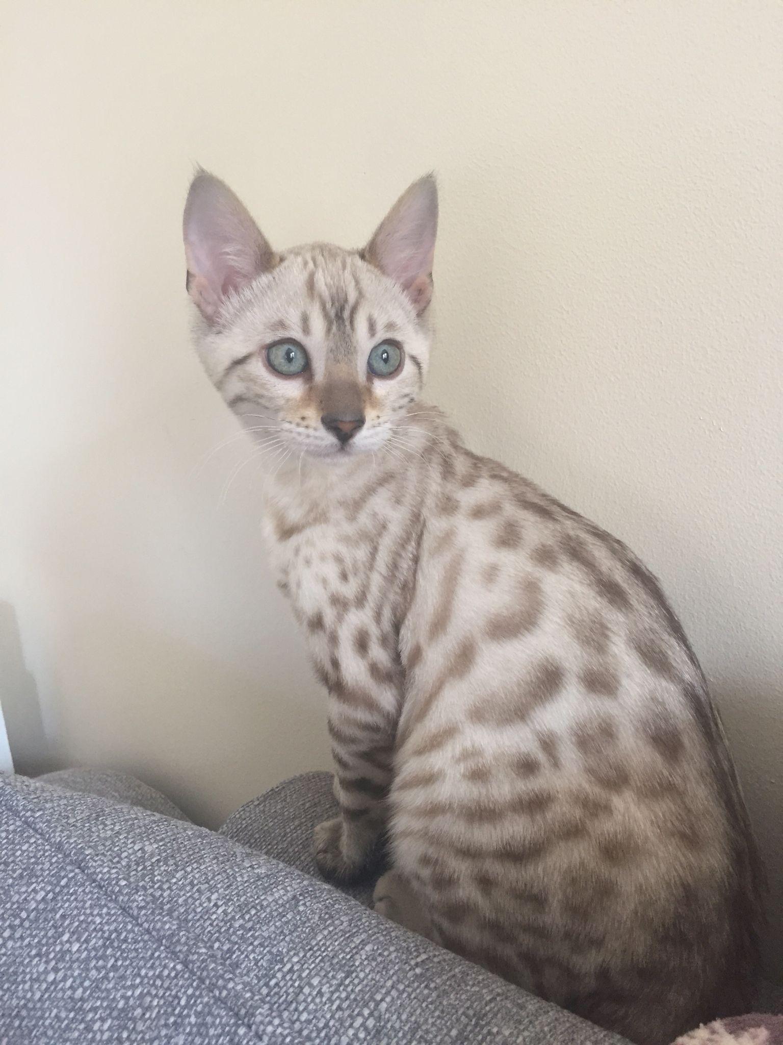 My Blue Eyed Snow Bengal Kitten Bengalkittens My Blue Eyed Snow Bengal Kitten In 2020 Bengal Kitten Bengal Cat Kitten Bengal Cat