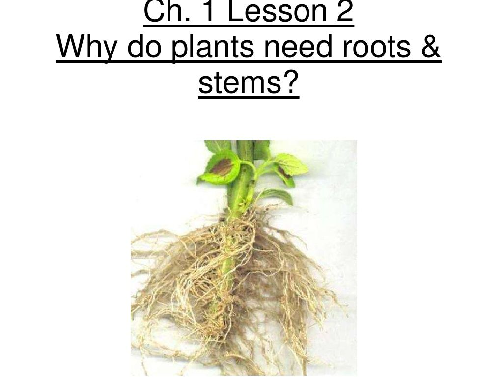 3rd Grade Ch 1 Lesson 2 Why Do Plants Need Roots And Stem