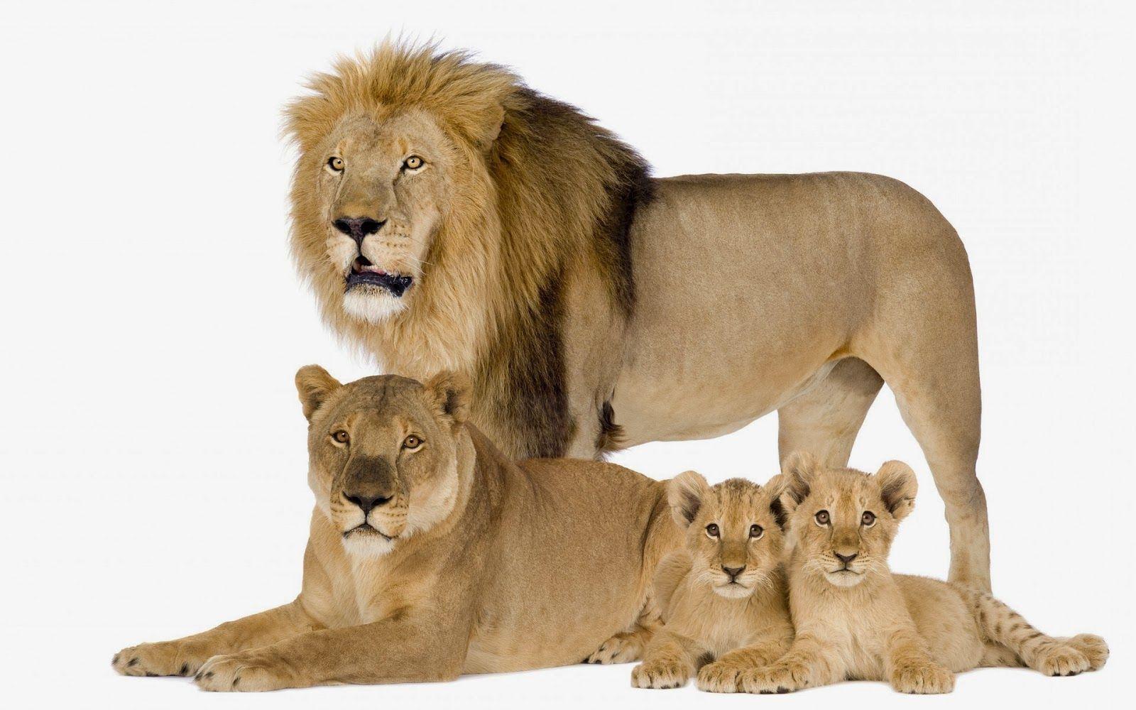 Lion family wallpaper - photo#36