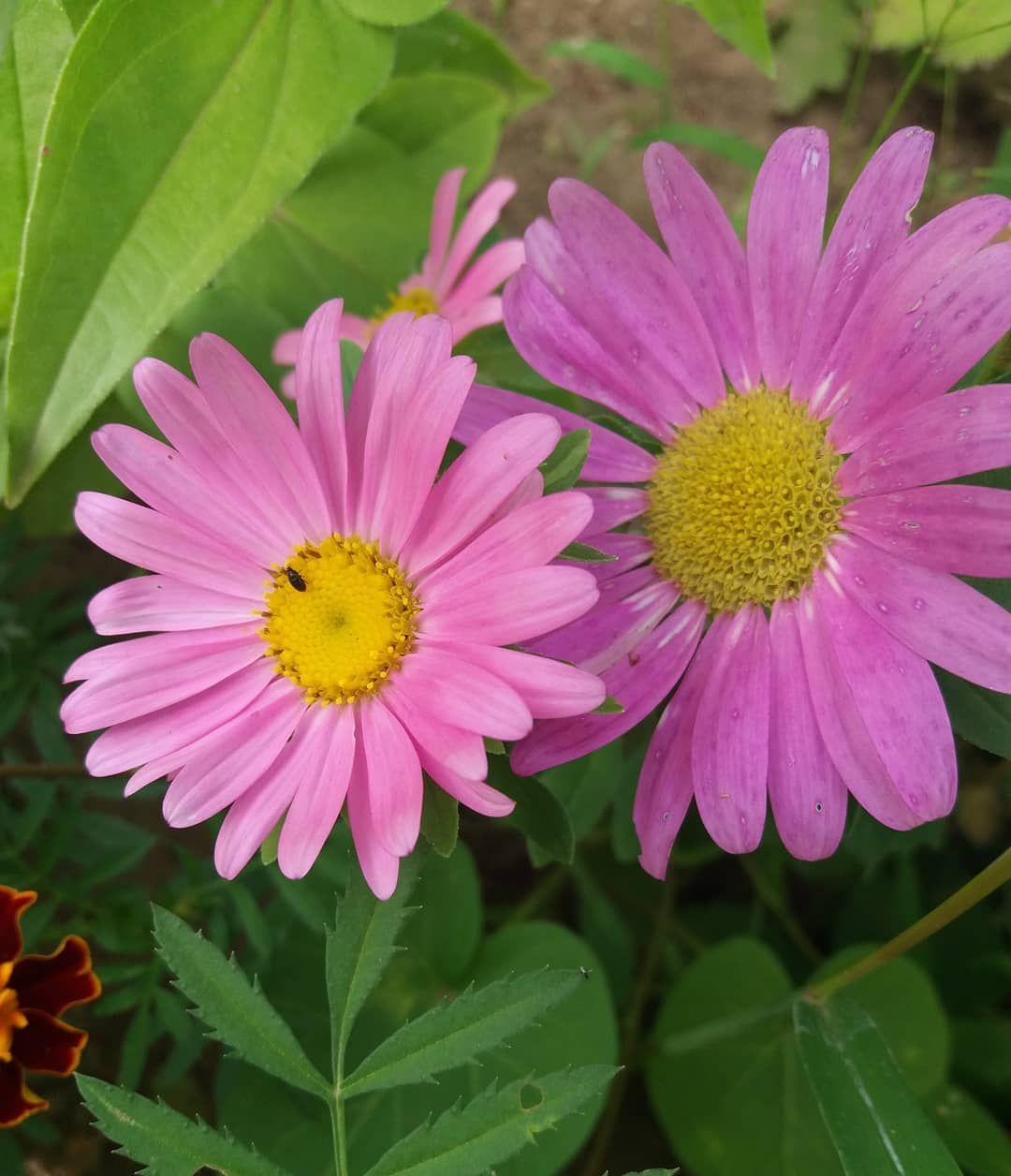 Rosa Gaensebluemchen Samen