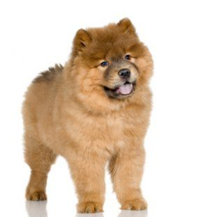 The 11 Most Expensive Dog Breeds Dog Breeds Puppies Chow Chow Dogs