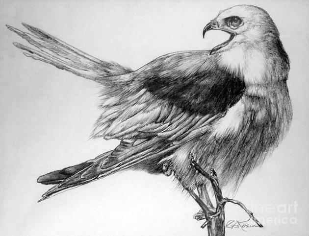 Bird Drawings In Pencil | Realistic Pencil Drawings of ...