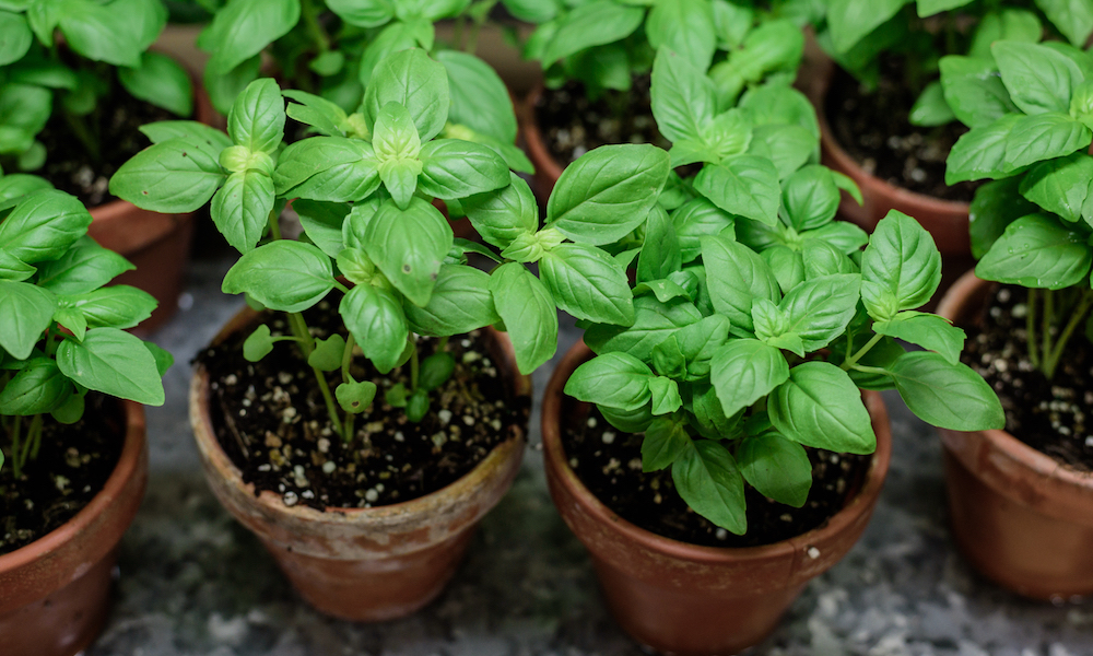 10 Companion Herbs To Plant In Your Garden Planting 400 x 300