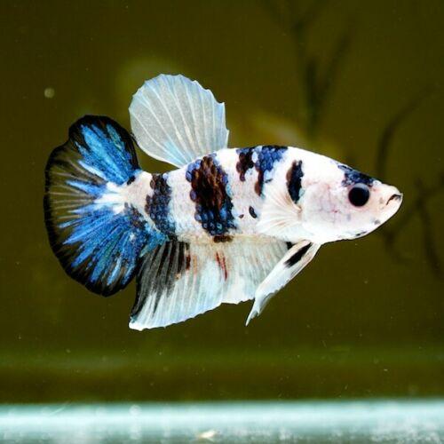 Galaxy Betta Fish Price