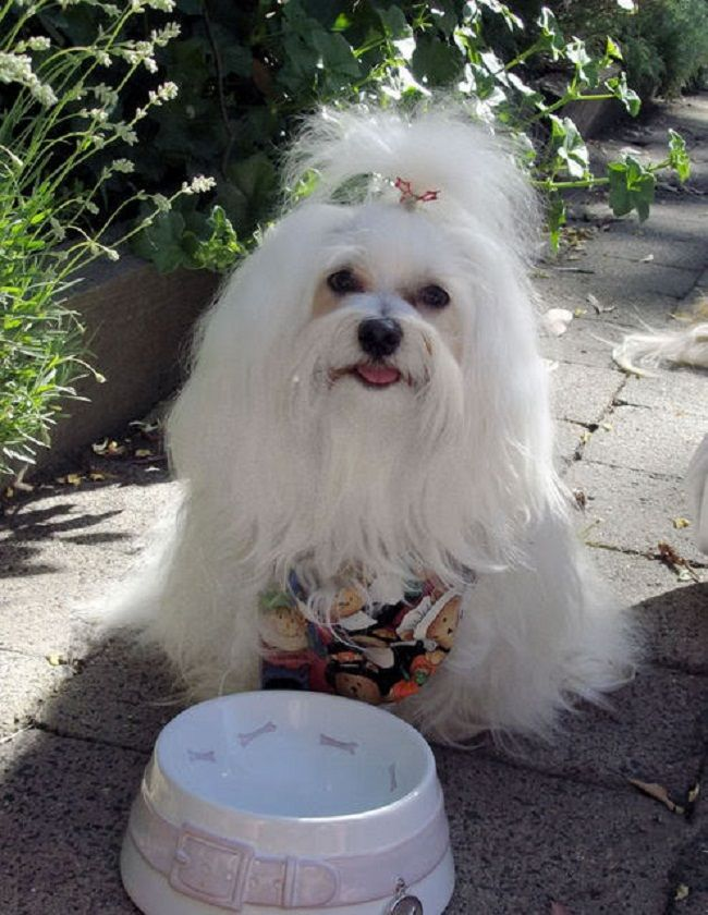 Maltese Haircuts Styles Pictures Animal Pinterest Maltese