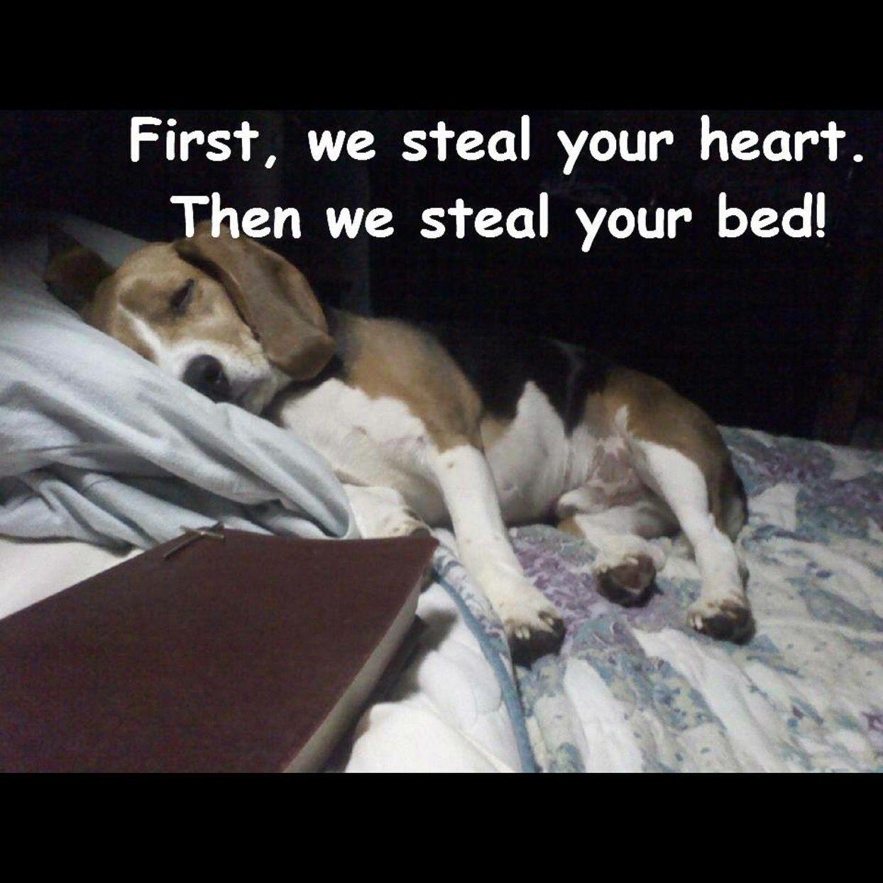 Most Inspiring Video Beagle Adorable Dog - fe7d85f6e479143ee2e48c2b614640b5  Picture_343818  .jpg