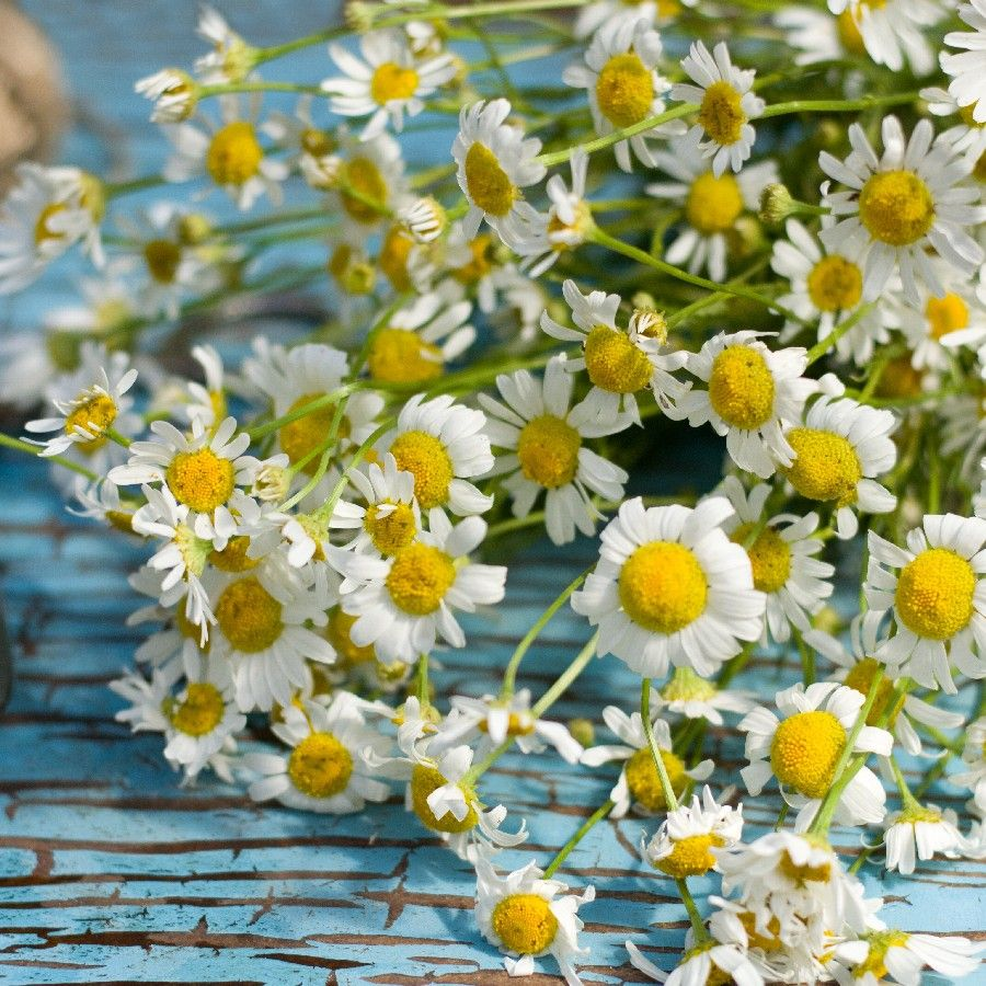Chamomile Seeds Roman Herb Seeds In Packets Bulk Eden Brothers Chamomile Plant Herb Seeds Chamomile Growing