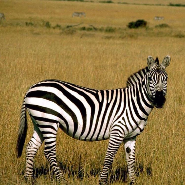 Pin by Bunny on All Things Beautiful Zebra pictures