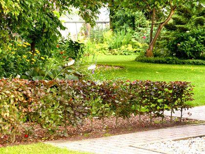 Is het beukenhaag fagus sylvatica of een haagbeuk carpinus betulus planten - Outdoor tuinieren ...