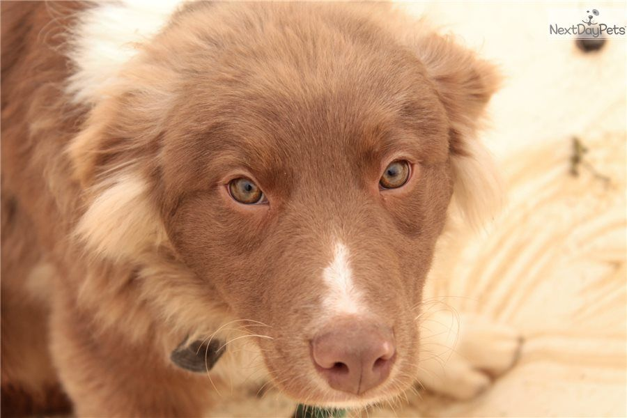 Australian Shepherd Puppy For Sale Near Tuscarawas Co Ohio 4e066530 3df1 Shepherd Puppies Puppies For Sale Australian Shepherd