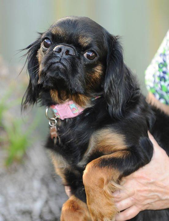 Adopt Freedom Boca Raton Fl On King Charles Spaniel Pug Mix