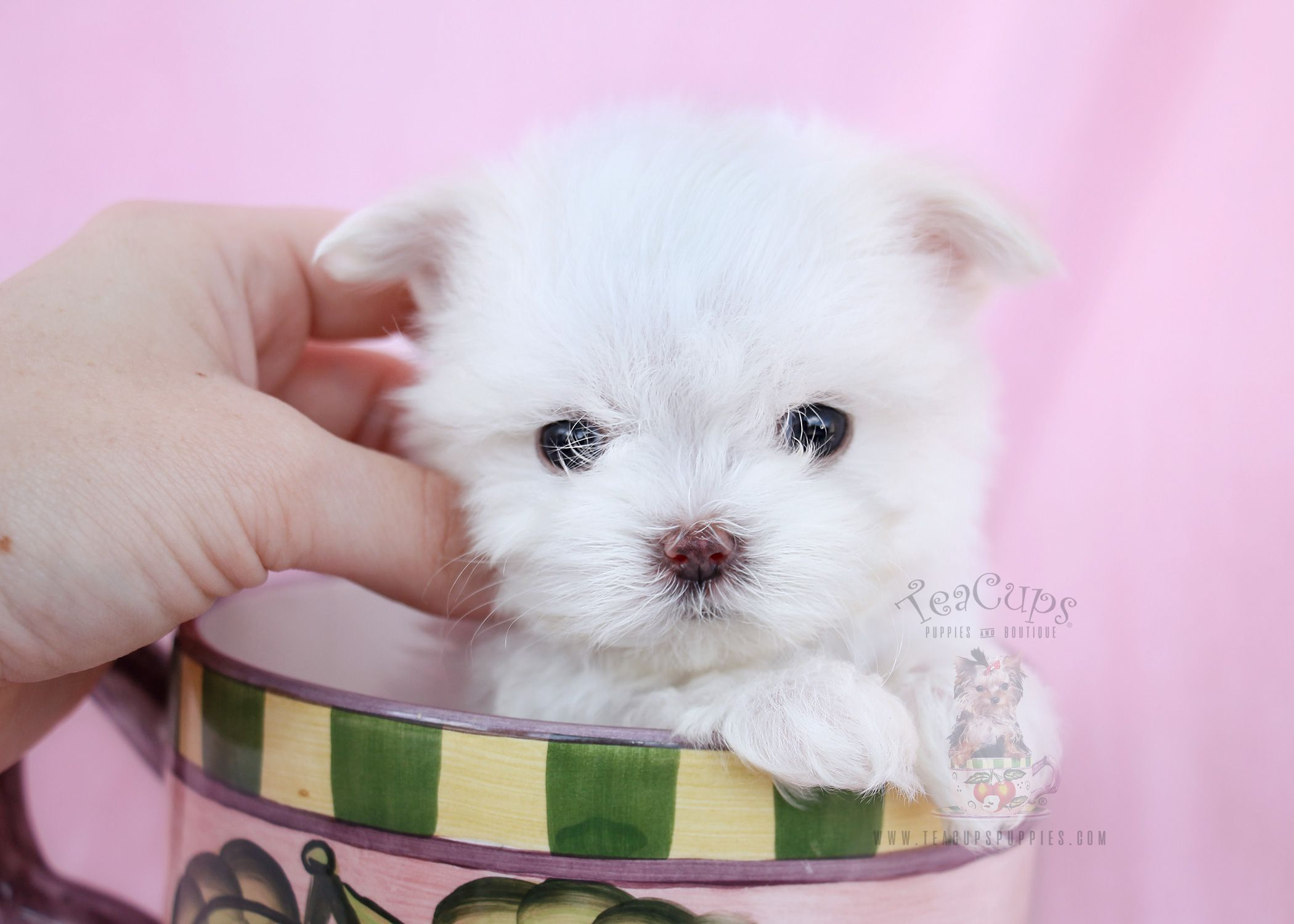 Tiny Teacup Maltese Maltese puppy, Teacup puppies