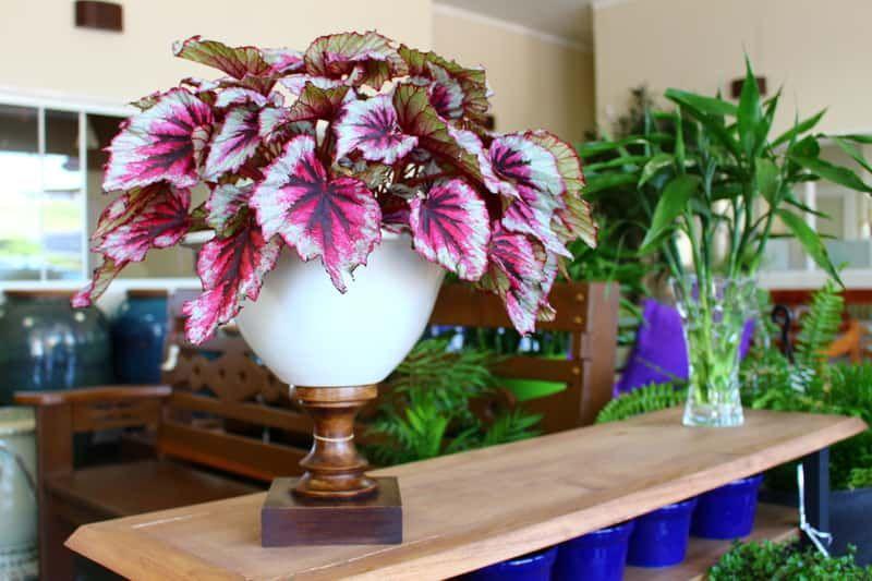 Begonia Krolewska Porady I Uprawa Begonia Plants Vase