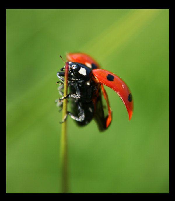Ladybug Flying Ladybug Lady Beetle Flies Away