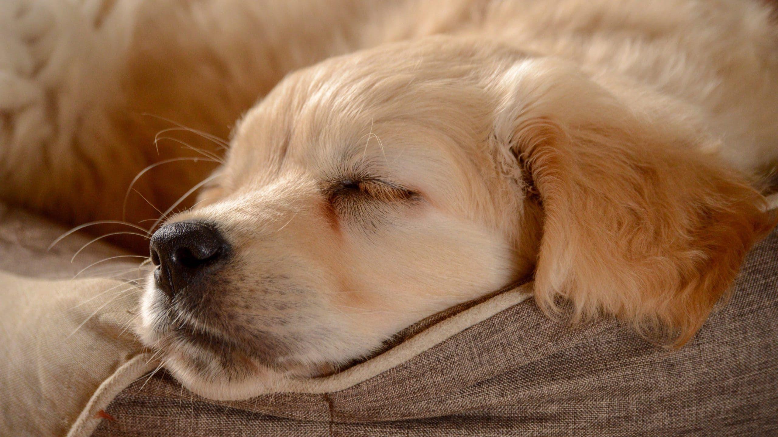 Chiens Repos Resting Dogs Voyage Onirique En 2020 Golden Retriever Chiots Endormis Chien Retriever
