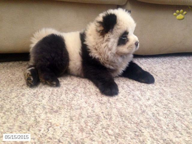chow chow panda
