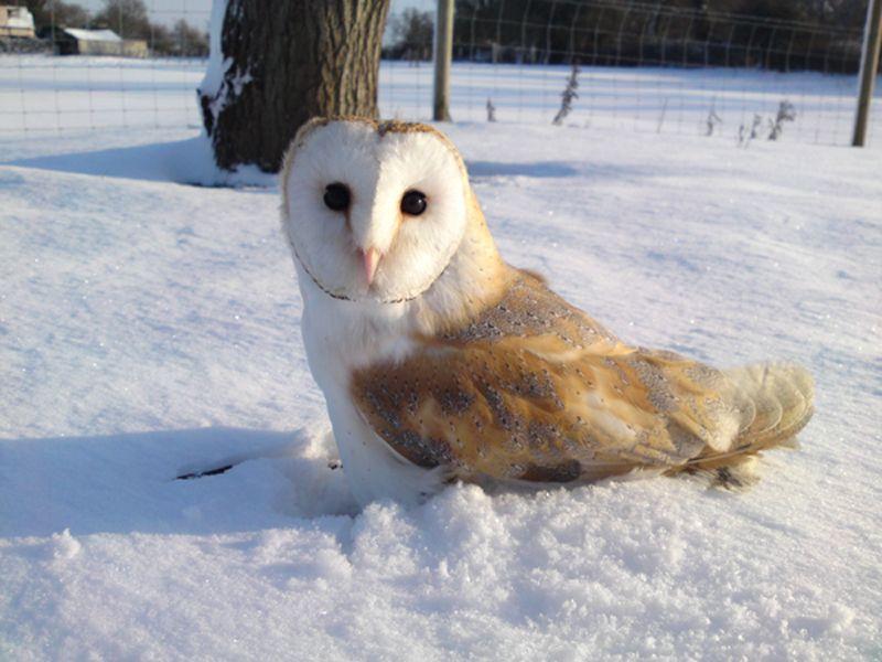 Cute baby white owl - photo#48