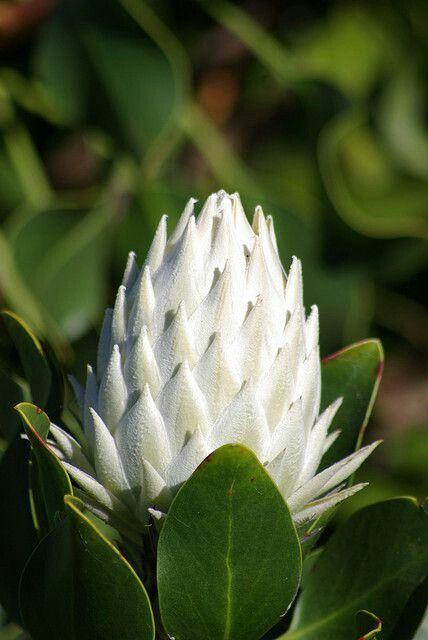 King White Protea Posadka Derevev Redkie Cvety Posadka Cvetov