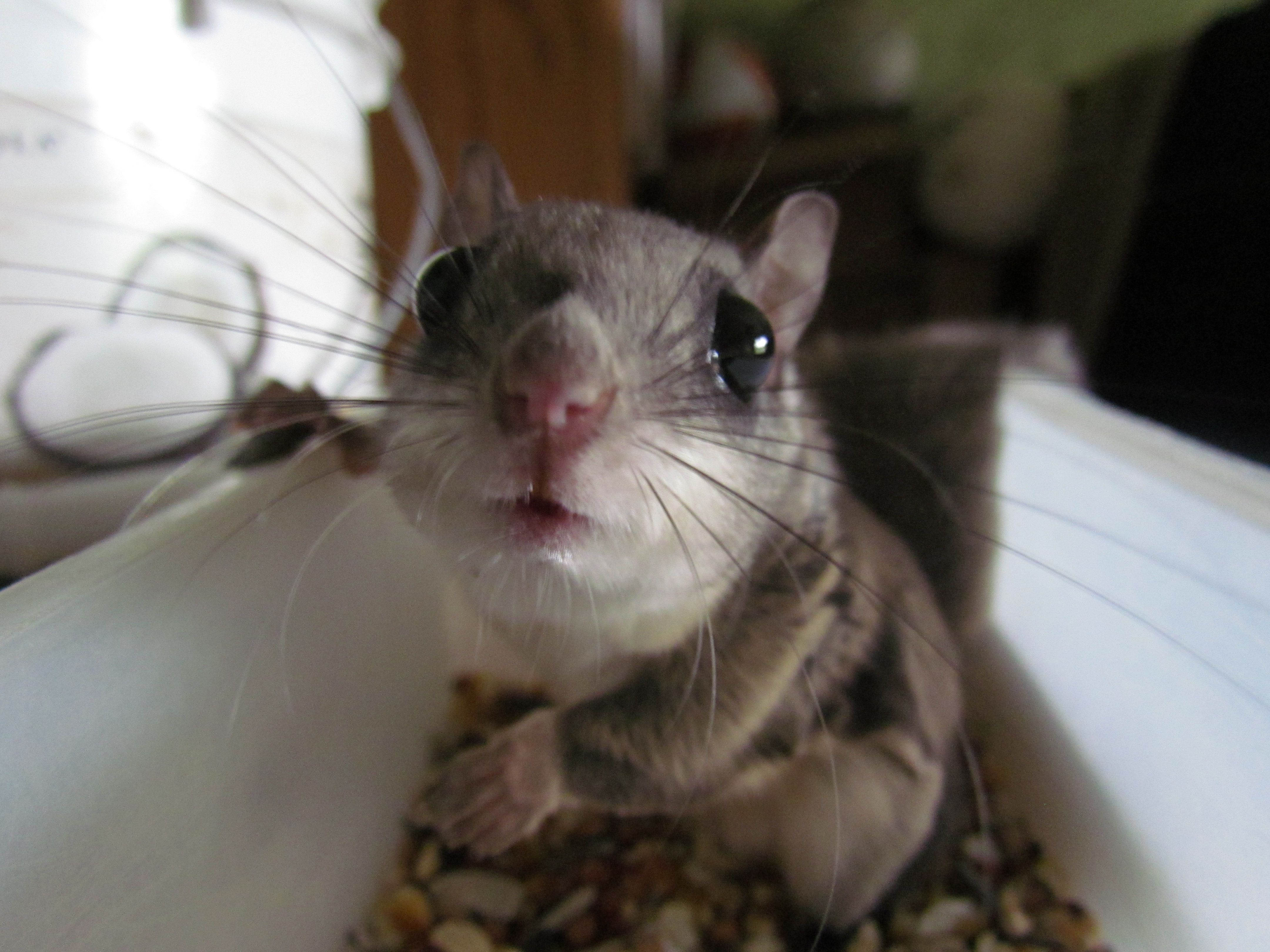 Joey Or Maxy One Of Our Pet Flying Squirrels Adorable