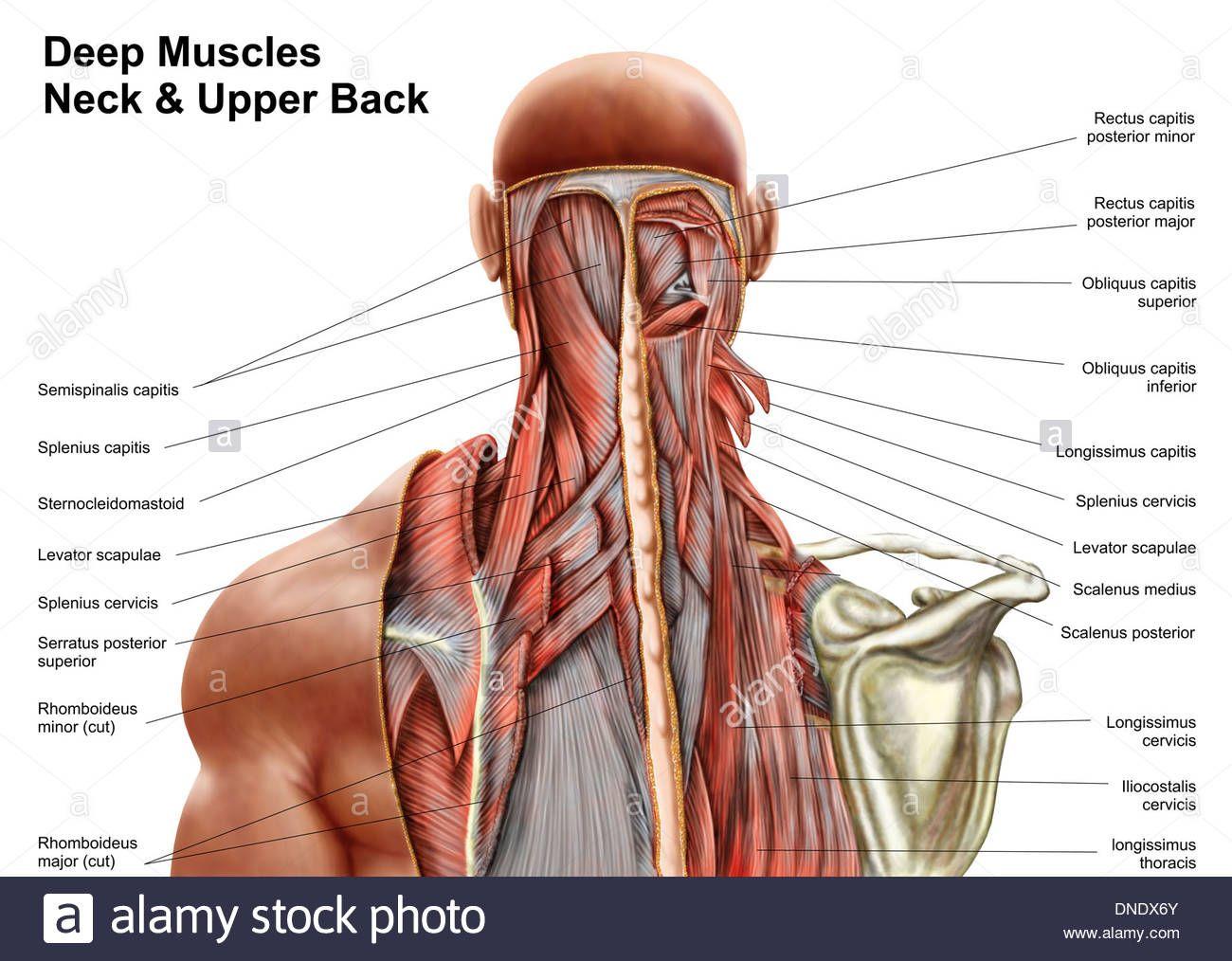 anatomia-humana-mostrando-musculos-profundos-en-el-cuello-y-la-parte ...