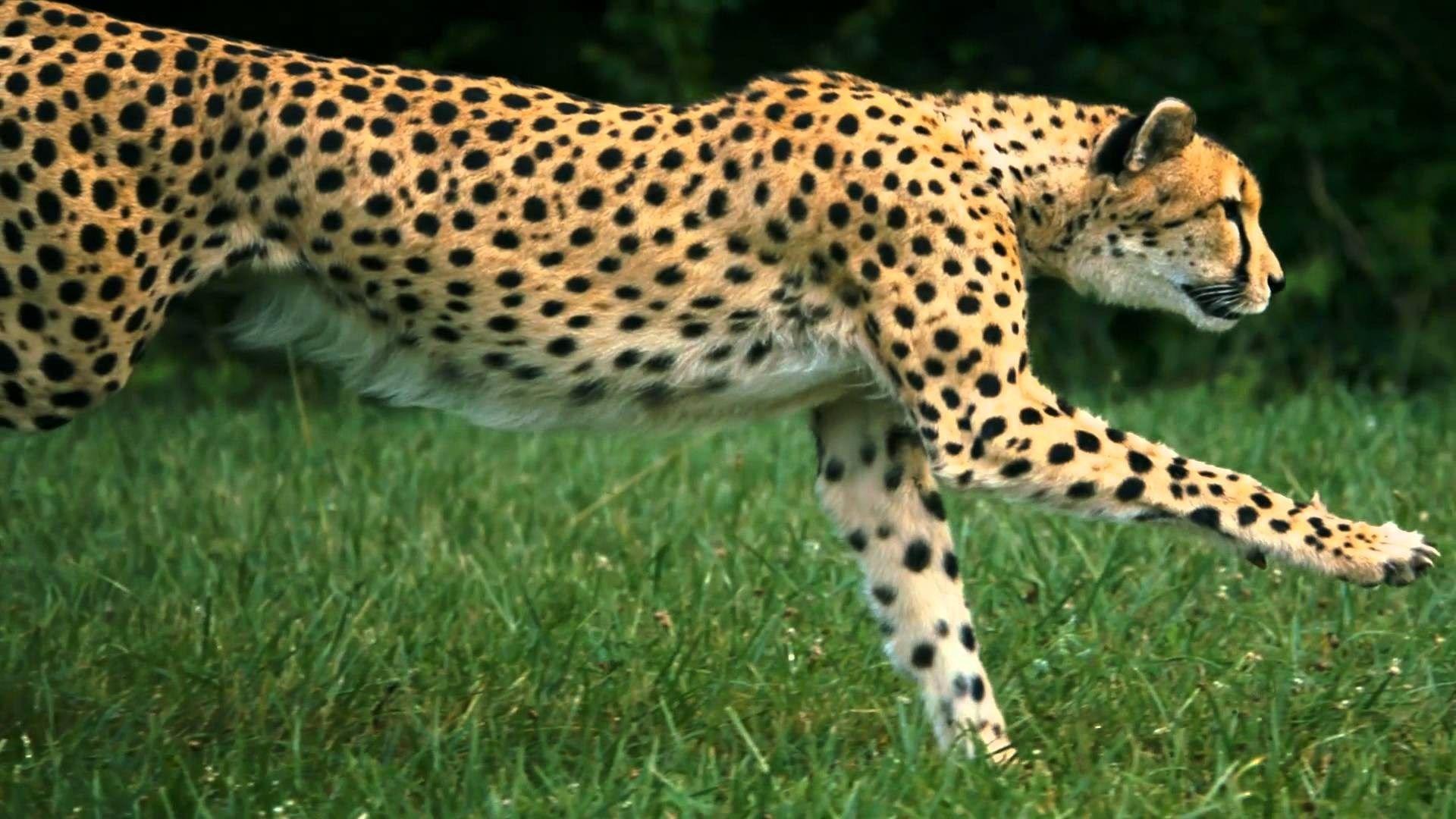 cheetah wallpapers for mac free