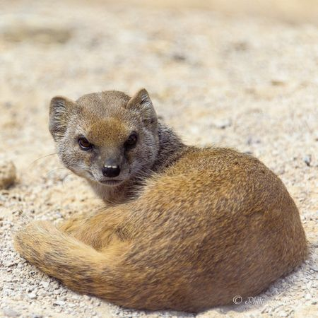 Yellow mongoose Photo by Philippe Chavinier — National Geographic Your Shot  | Mongoose, Cute animals, Small pets