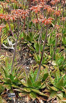Http En Wikipedia Org Wiki List Of Aloe Species Aloe Maculata