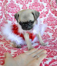 Pug Puppies For Sale Baby Pugs Pug Puppies Pug Puppies For Sale