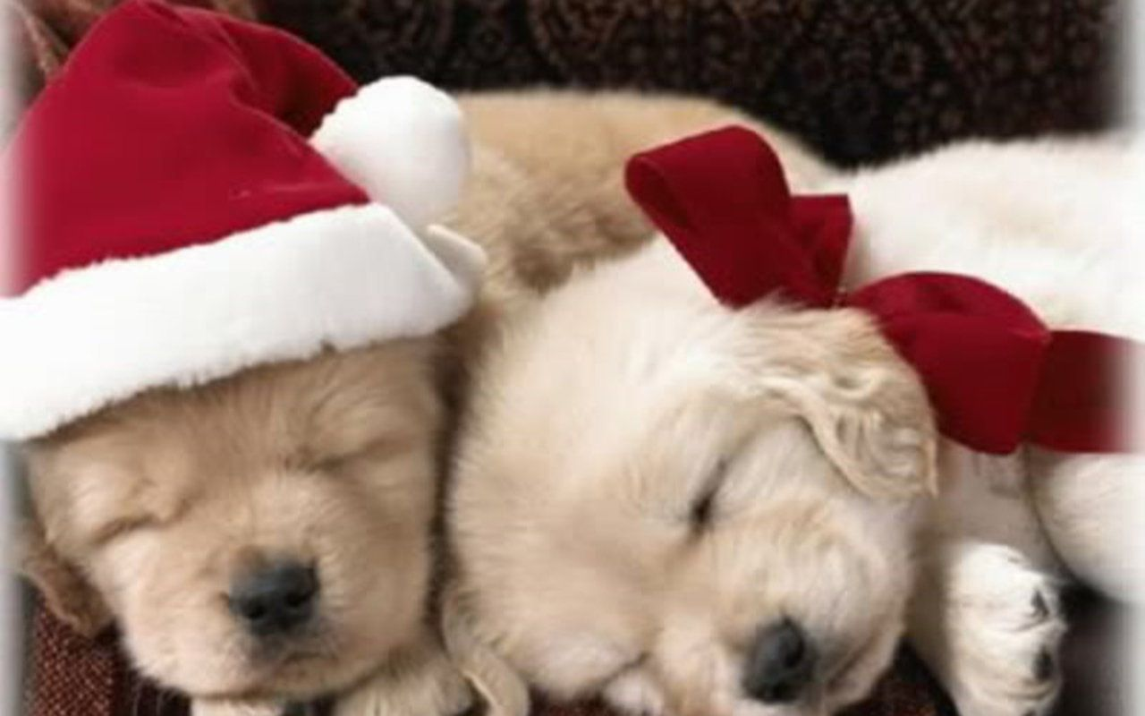 Puppies Wallpaper Christmas Puppy Christmas Puppy Christmas Animals Puppy Wallpaper