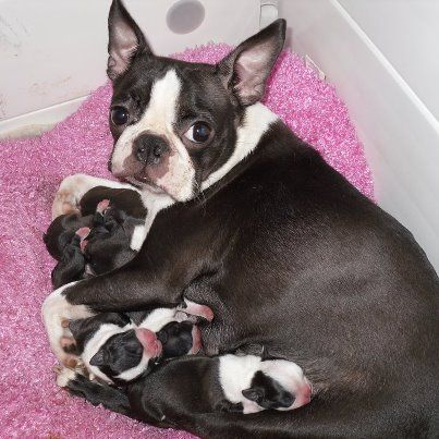 Precious Mom And Babies With Images Boston Terrier Dog