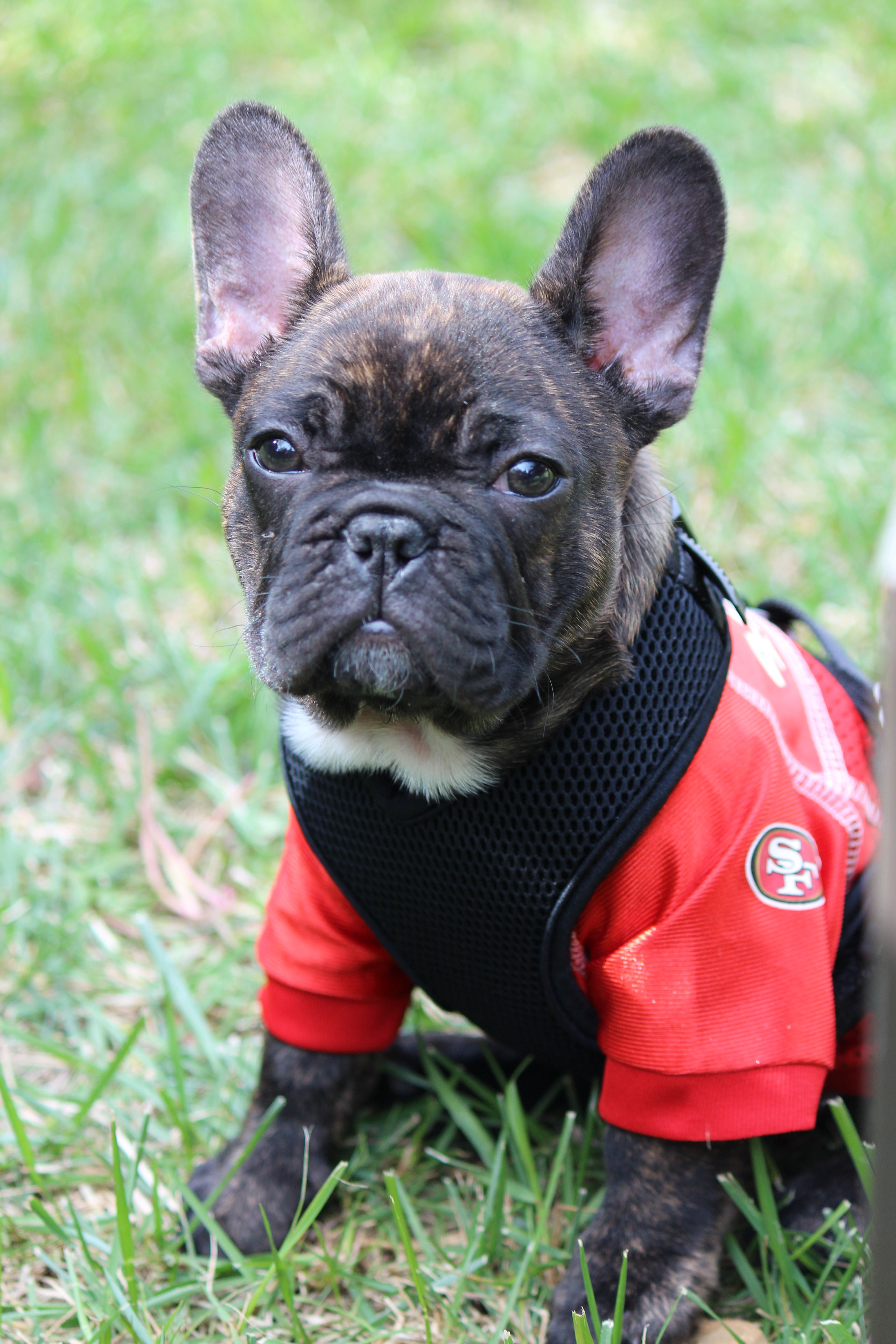 Frenchies Love Sports Too French Bulldogs 49ers Niners Puppy