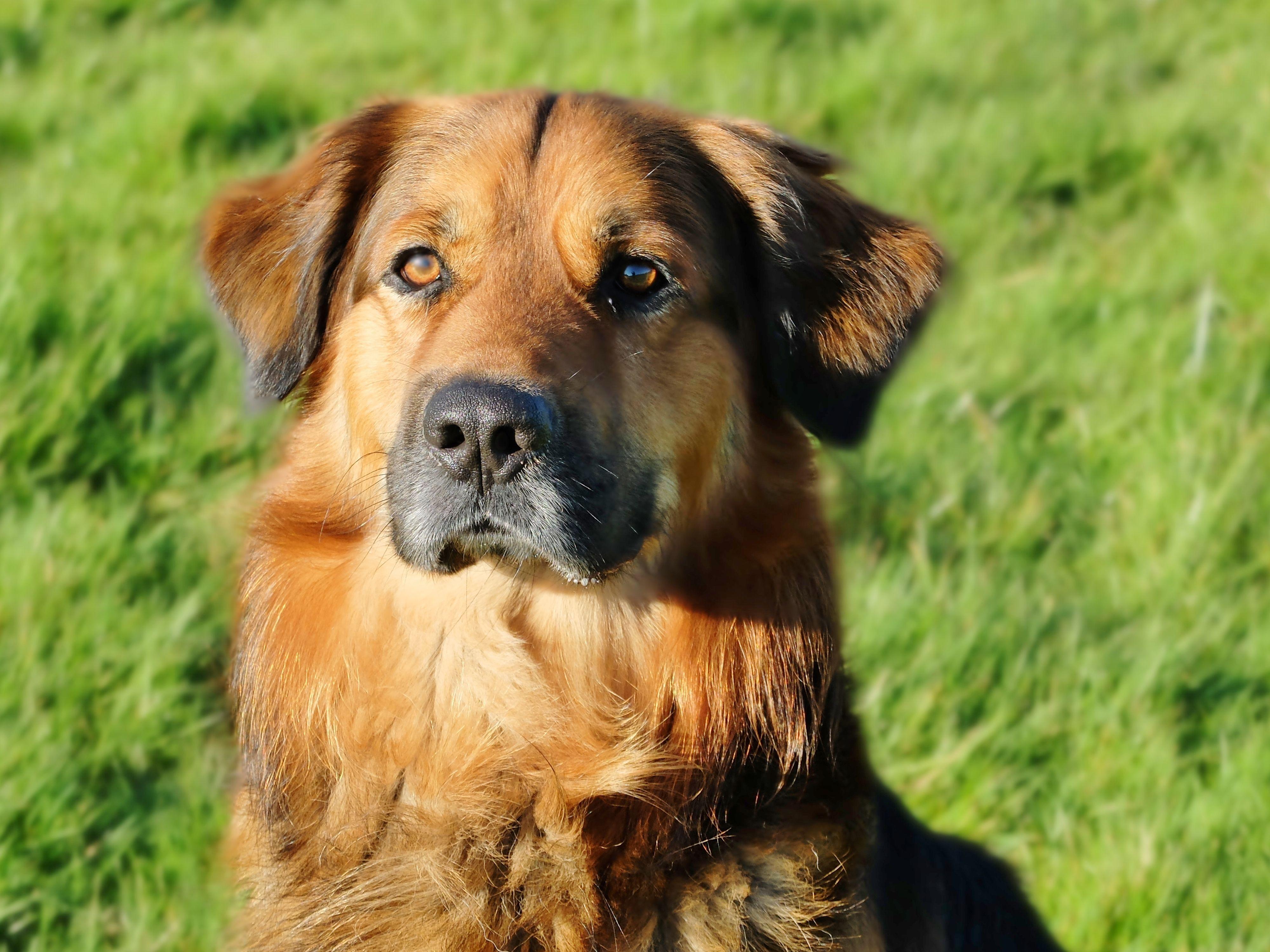 German Shepherd Golden Retriever Mix Puppy For Sale 2021