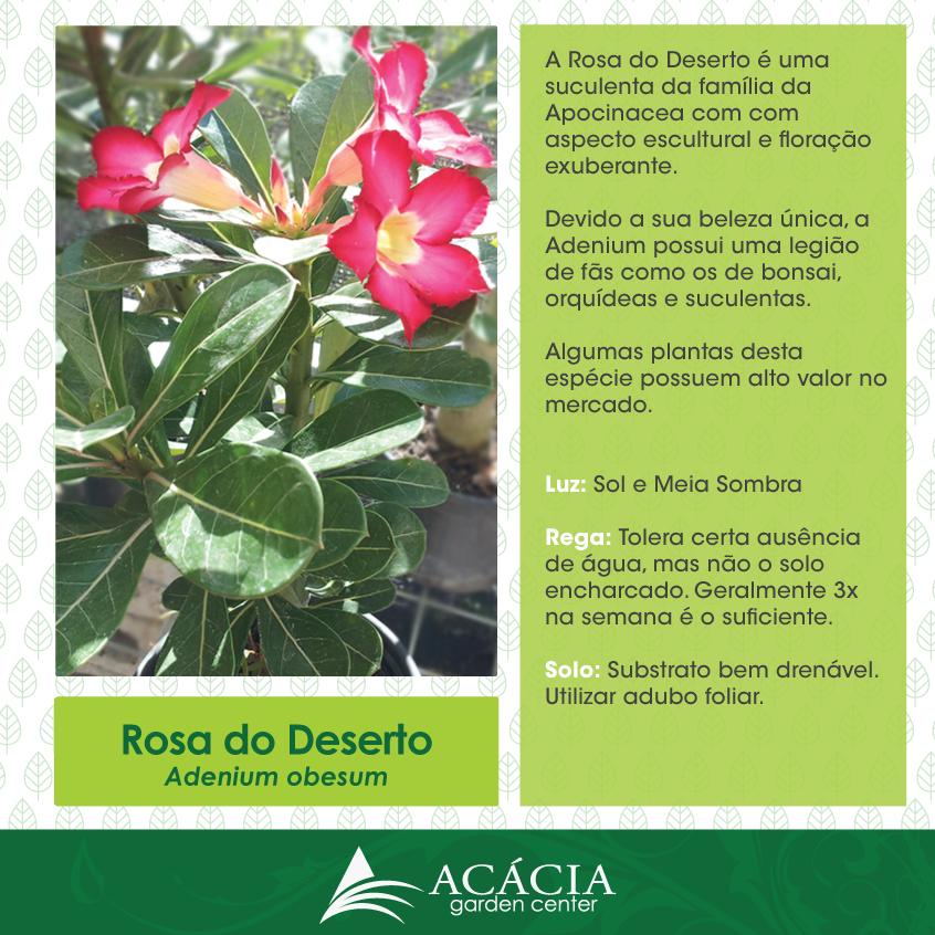 Rosa do Deserto – como cuidar desta planta de beleza única | Blog Jardinices #cultivos