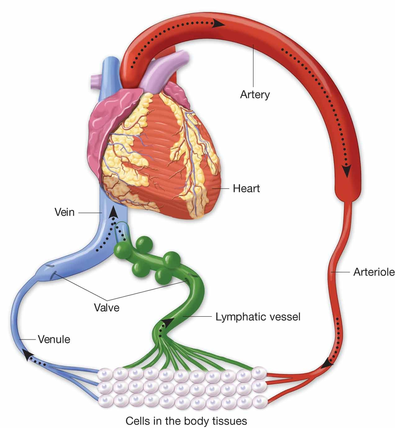 Shows how lymphatic system returns blood to circulation | Anatomy ...
