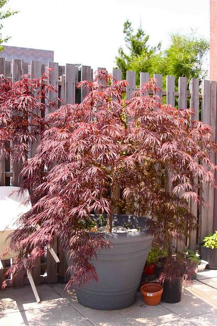 Japanese Acer Red Dwarf Maple Tree Chinese Maple Tree Potted Trees Red Maple Tree