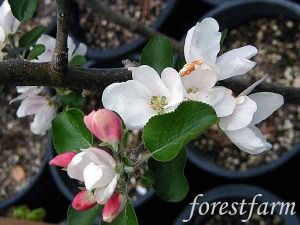Malus Whitney - Edible Fruiting Crabapple