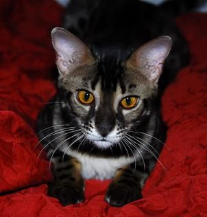 Bengal Kittens For Sale In New Mexico Bengal Cat Breeders