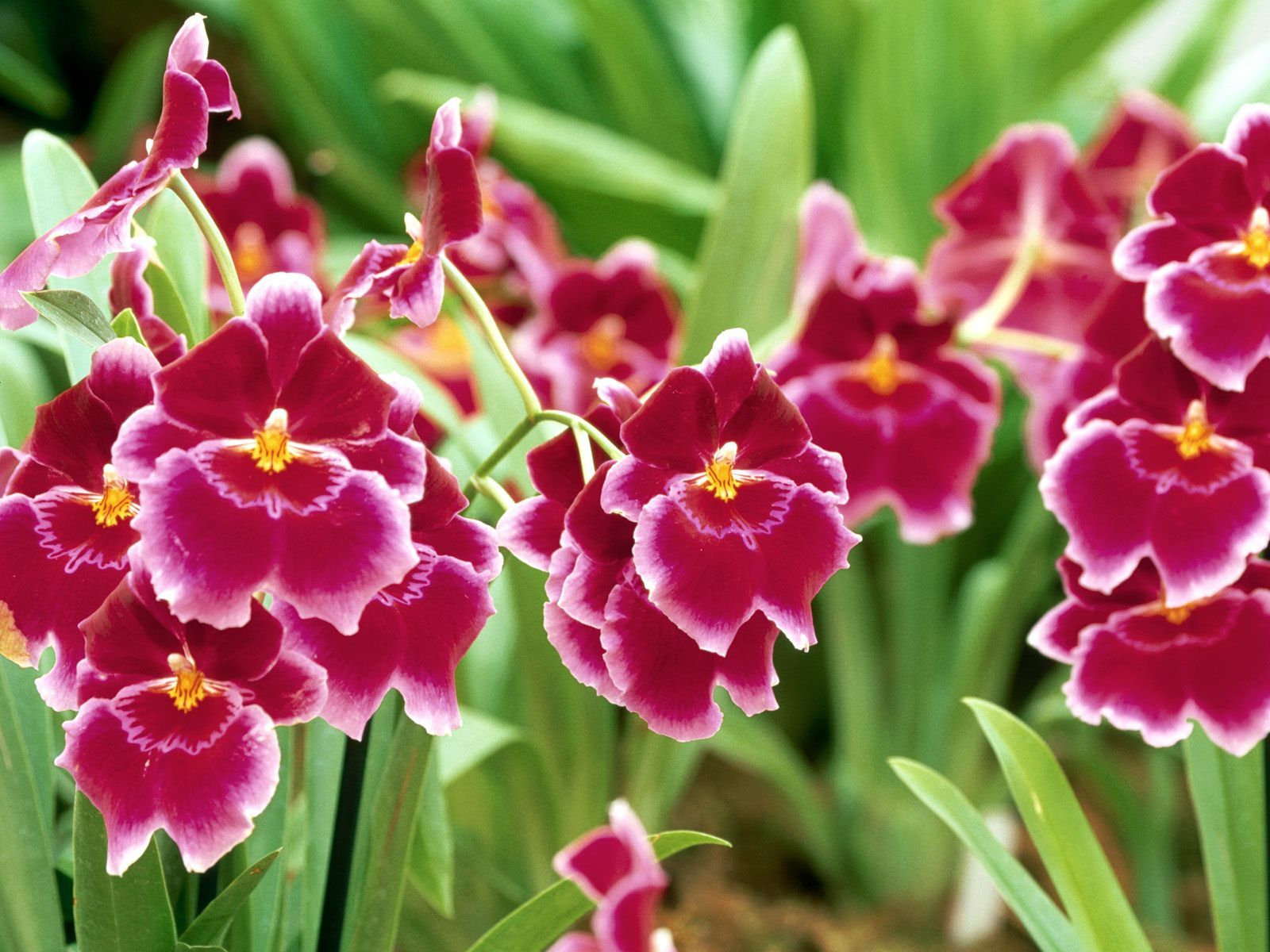 Pansy pansy orchid wallpaperfree earth wallpaper for desktop