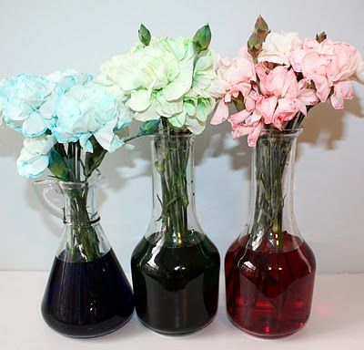 Carnations + water + food coloring = capillary action | Education ...