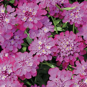 This new Candy Cane Series is a terrific assortment for the garden and come in a variety of colors: red, lilac, white, or red. 'Candy Cane Purple' is evergreen, compact and a fast grower. The Candy Cane Candytufts are perfect planted en masse, as borders or in containers. Beautiful aslo as a cutflower.