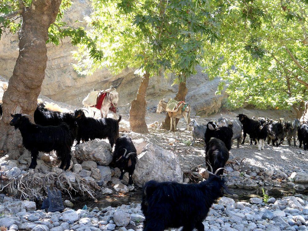 Ziegenherde, knapp gestoppt neben der Picknick-Decke. Tal bei Rania