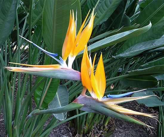 Bird Of Paradise Birds Of Paradise Plant