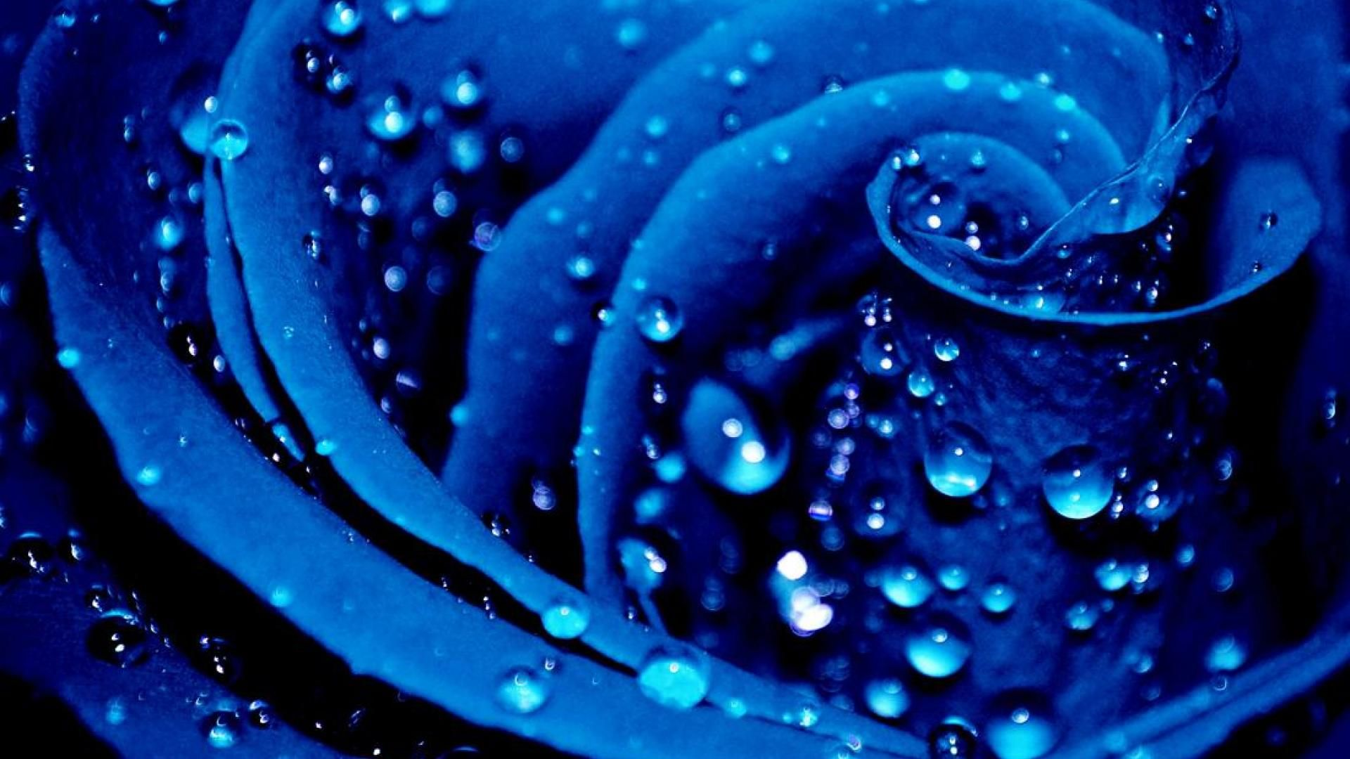A Red Rose Turned Blue Via Wonderful Work In Photoshop
