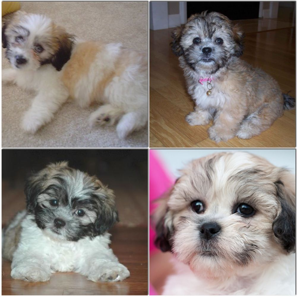 Shih Tzu Bichon Frise Mixed My Favorite Puppies Ever Pets
