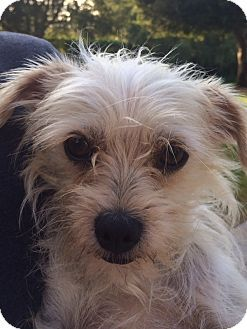 Camarillo Ca Norfolk Terrier Mix Meet Maggie A Dog For
