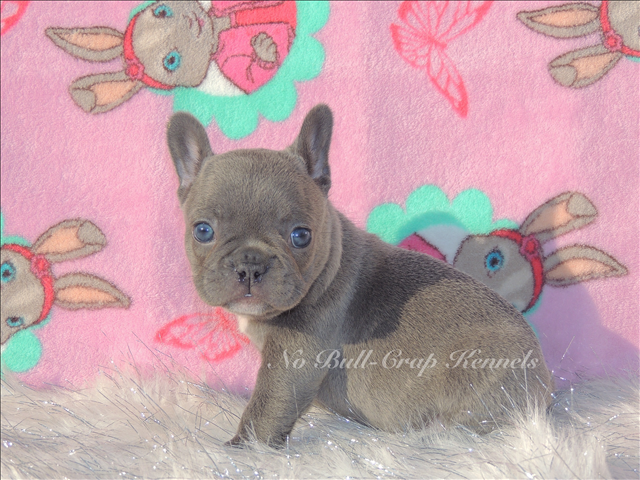 French Bulldog Puppies For Sale In Houston Texas French Bulldog