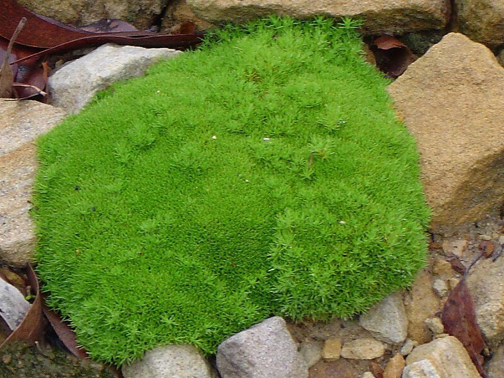 scleranthus biflorus Australian garden, Japanese garden