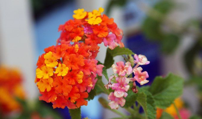Huff Lantana A Vibrant Shade Called Tangerine Tango Has Been Identified As The Color Of The Year B Color Of The Year Garden Center Beautiful Outdoor Spaces