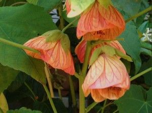 Abutilon Hybridum Flowering Maple Albution Chinese Lantern